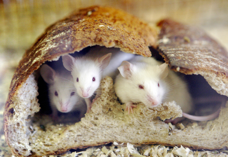 Mice peer out from a loaf of bread which they hollow out and use the crust to live in, during an attraction for New Year visitors at the Inokashira Park Zoo in suburban Tokyo 06 January 2008, on the last day of Japan's largest holiday. This year is the Year of the Rat, according to the Chinese zodiac.  AFP PHOTO / Yoshikazu TSUNO (Photo credit should read YOSHIKAZU TSUNO/AFP/Getty Images)