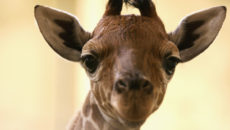 DUNSTABLE, ENGLAND - OCTOBER 20: Whipsnade's new male baby giraffe - which is yet to be named - meets the outside world at Whipsnade Wild Animal Park on October 20, 2004 in Dunstable, England. Born on October 9 to parents Bruno and Ellie, this is the first reticulated giraffe birth at Whipsnade in three years, and is the seventh calf to be born at Whipsnade. (Photo by Paul Gilham/Getty Images)